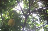לימונים